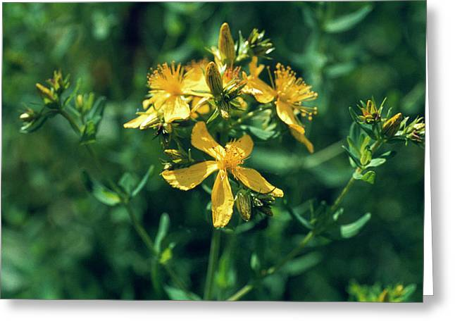 St John's Wort Flowers Greeting Card by Th Foto-werbung/science Photo Library