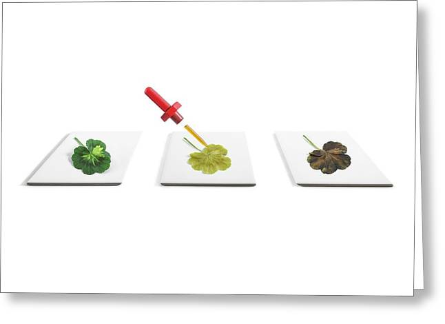 Starch Content Of Leaves Greeting Card by Science Photo Library