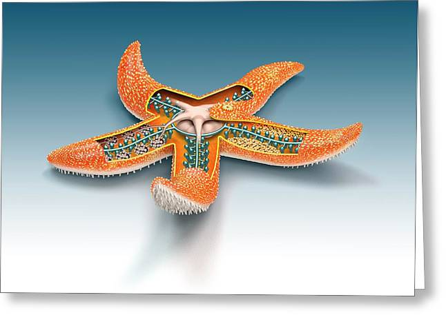 Starfish Anatomy Greeting Card by Mikkel Juul Jensen