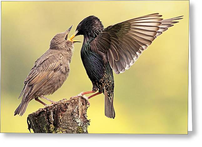 Starlings Greeting Card by Grant Glendinning