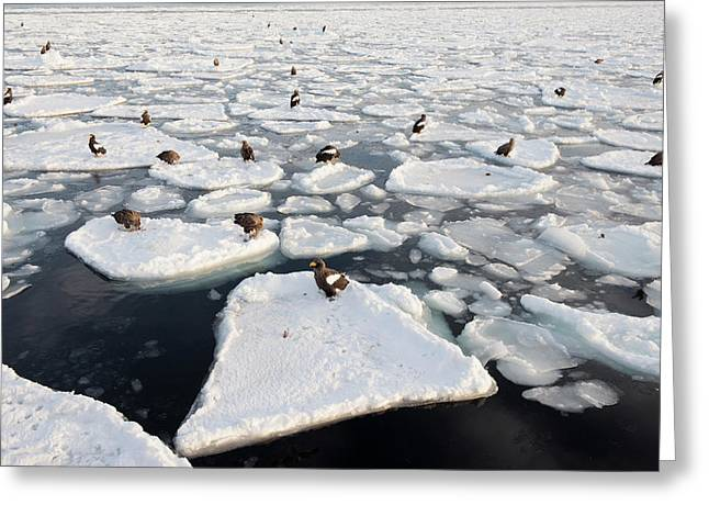 Steller's Sea Eagles On Sea Ice Greeting Card by Dr P. Marazzi