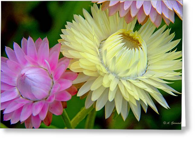 Strawflower Blossoms Greeting Card