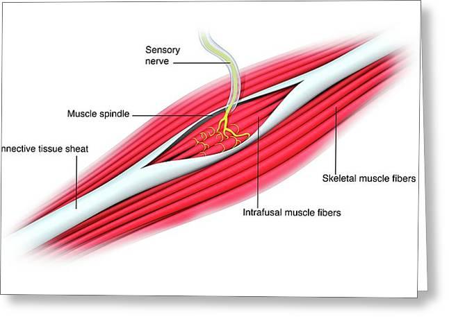 Stretch Reflex Mechanism Greeting Card
