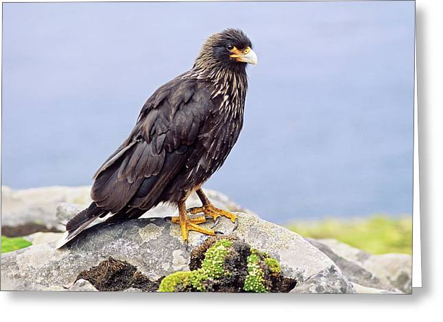 Striated Caracara Or Johnny Rook Greeting Card by Martin Zwick
