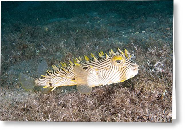 Striped Burrfish Greeting Card by Andrew J. Martinez
