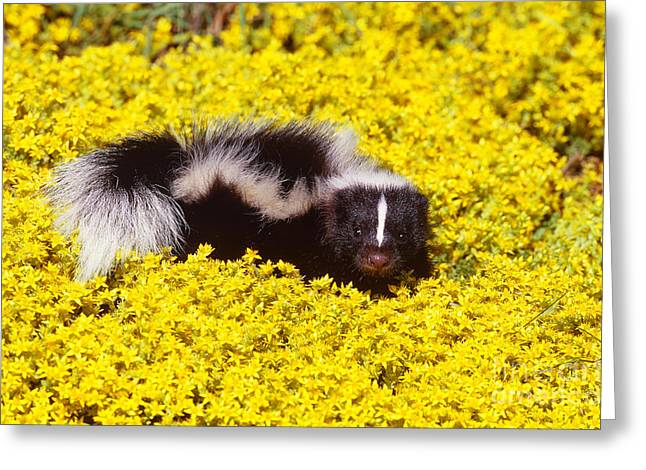 Striped Skunk Baby Greeting Card