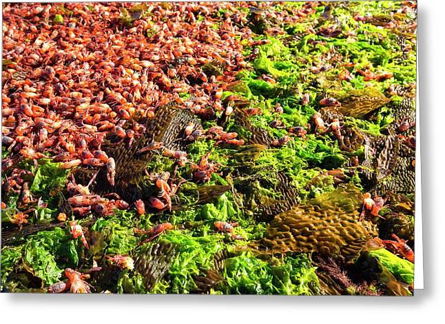 Subantarctic Squat Lobsters Greeting Card by Ashley Cooper