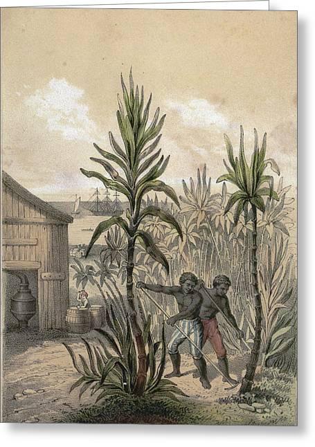 Sugar Can Farming, Sugarcane Plantation, Poaceae, Seed Greeting Card by English School