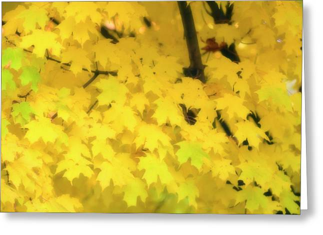 Sugar Maple (acer Saccharum) Greeting Card by Maria Mosolova/science Photo Library