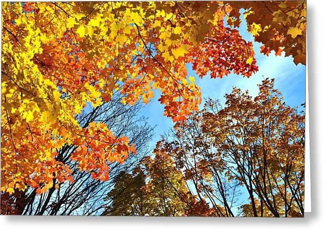 Sugar Maple Canopy Greeting Card