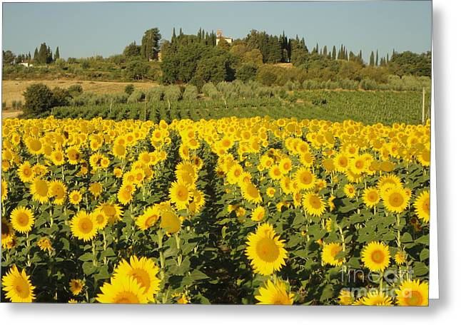 Sunflowers In Arezzo Greeting Card