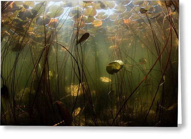 Sunlight Shines On Lily Pads Along Edge Greeting Card