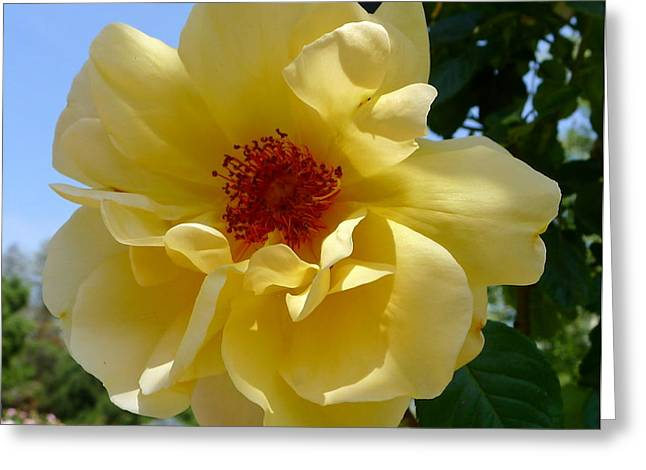 Sunny Yellow Rose Greeting Card