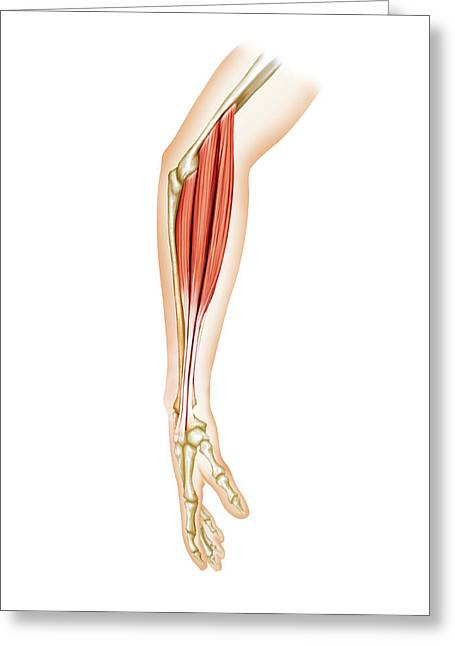 Superficial Muscles Of Forearm Greeting Card by Asklepios Medical Atlas