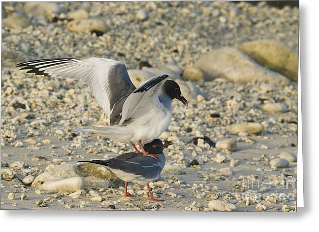 Swallow-tailed Gulls Mating Greeting Card by William H. Mullins