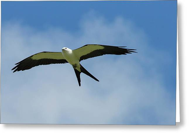 Swallow-tailed Kite In Flight Greeting Card