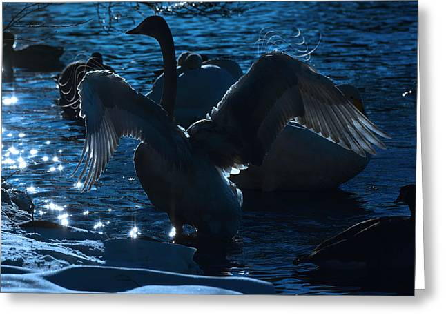 Swan Spreads Its Wings Greeting Card by Tommytechno Sweden