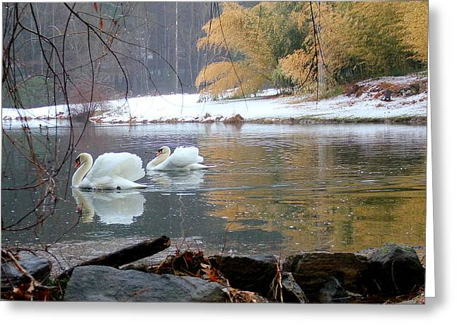 Swans In Winter Greeting Card by Chris Burke