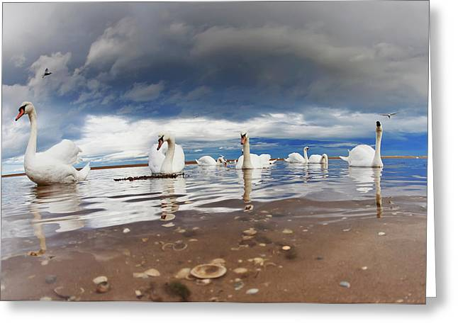 Swans Swimming In The Shallow Water Greeting Card