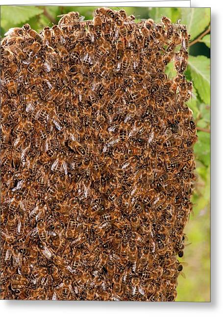 Swarm Of Honey Bees Greeting Card