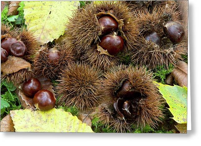 Sweet Chestnuts (castanea Sativa) Greeting Card by Bob Gibbons