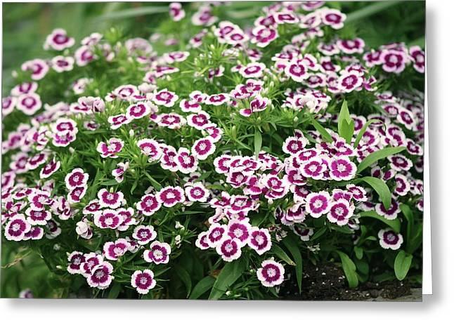 Sweet William (dianthus Barbatus) Flowers Greeting Card