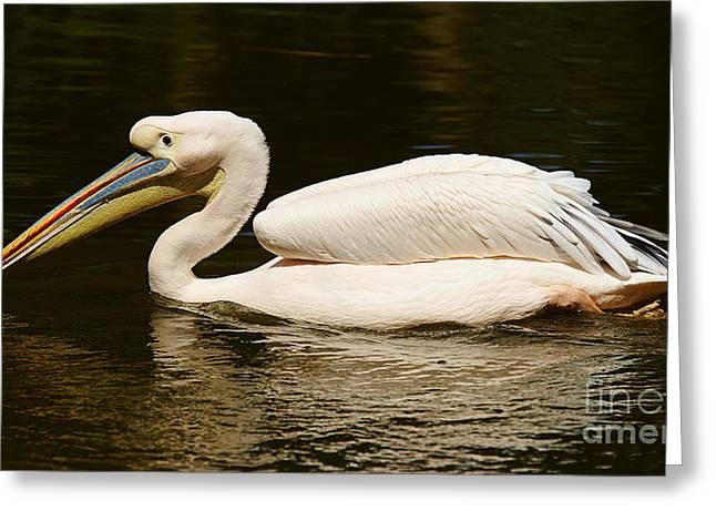 Swimming Pink Pelican Greeting Card