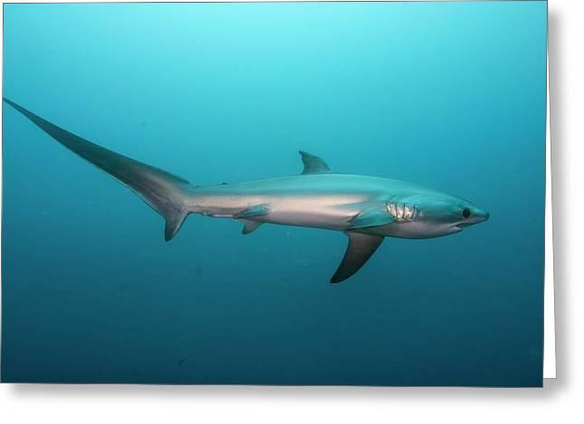 Swimming Thresher Shark Greeting Card by Scubazoo
