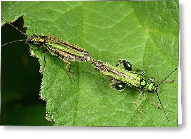 Swollen-thighed Beetles Greeting Card by Nigel Downer
