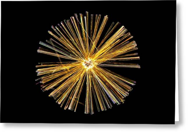 Synedra Diatom Group Greeting Card by Gerd Guenther