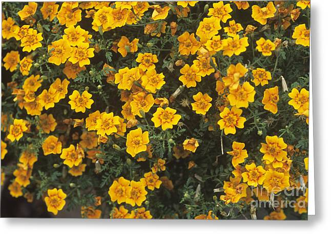 Tagetes Tenuifolia Starfire Greeting Card by Adrian Thomas