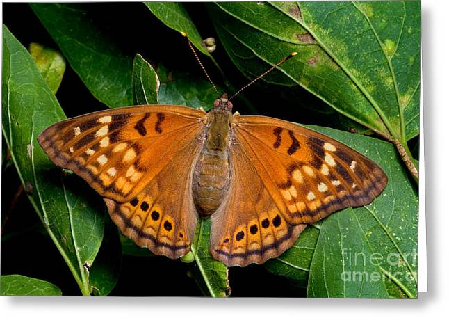 Tawny Emperor Butterfly Greeting Card