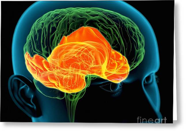 Temporal Lobes In The Brain, Artwork Greeting Card