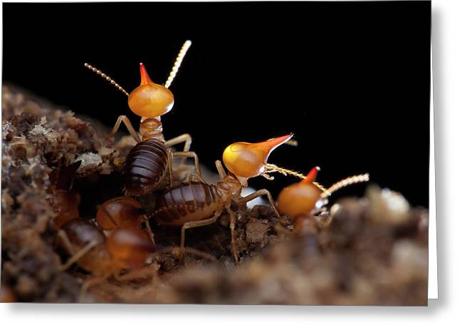 Termites Greeting Card by Melvyn Yeo