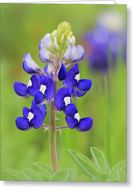 Greeting Card featuring the photograph Texas Bluebonnet by Elizabeth Budd