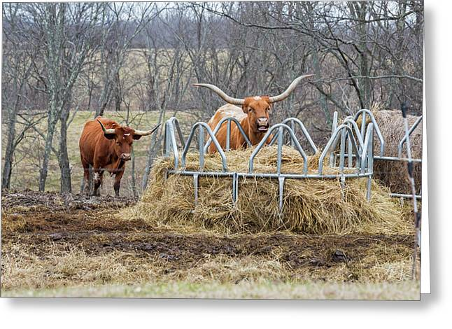 Texas Longhorn Cattle At A Hay Feeder Greeting Card