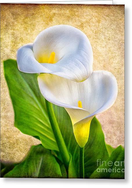 Textured Calla Lilies Greeting Card