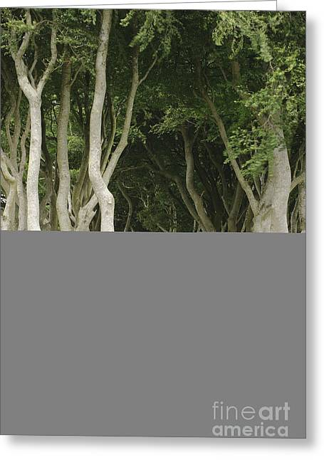 The Dark Hedges, Northern Ireland Greeting Card