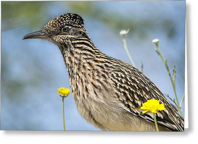 The Greater Roadrunner  Greeting Card by Saija  Lehtonen