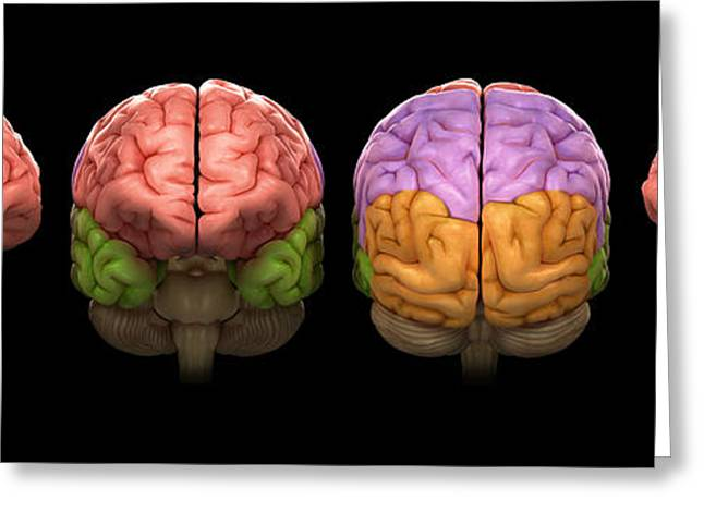 The Human Brain Greeting Card by Science Picture Co