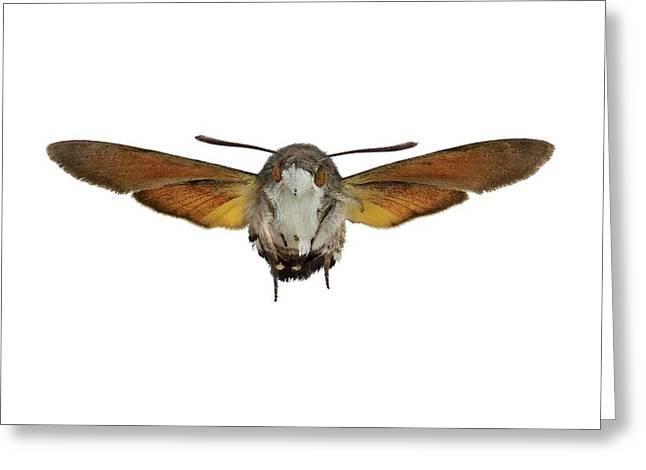 The Hummingbird Hawk-moth Greeting Card by F. Martinez Clavel