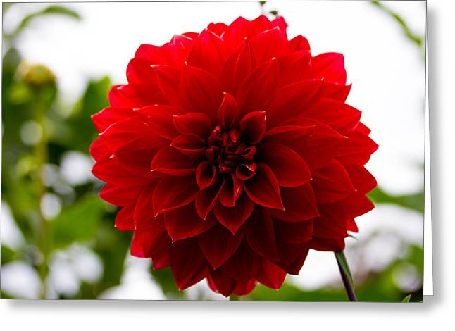 The Scarlet Flower Greeting Card
