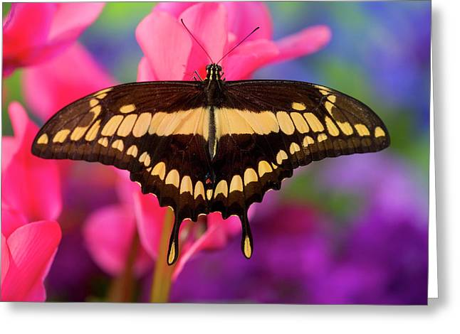 Thoas Swallowtail Butterfly, Papilio Greeting Card by Darrell Gulin