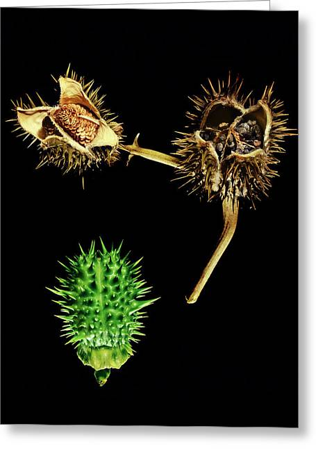 Thorn Apple (datura Stramonium) Greeting Card