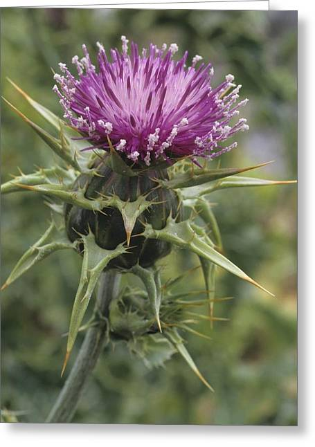 Thorny Beauty  Greeting Card by Don Kreuter