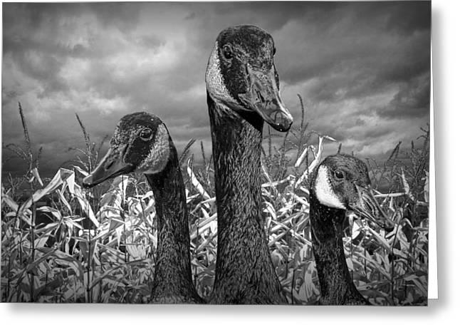 Three Canada Geese In An Autumn Cornfield Greeting Card