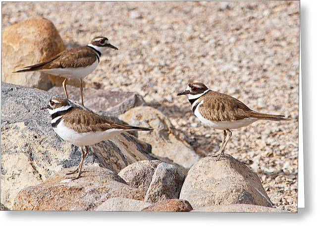 Three Killdeer On Rocks Greeting Card