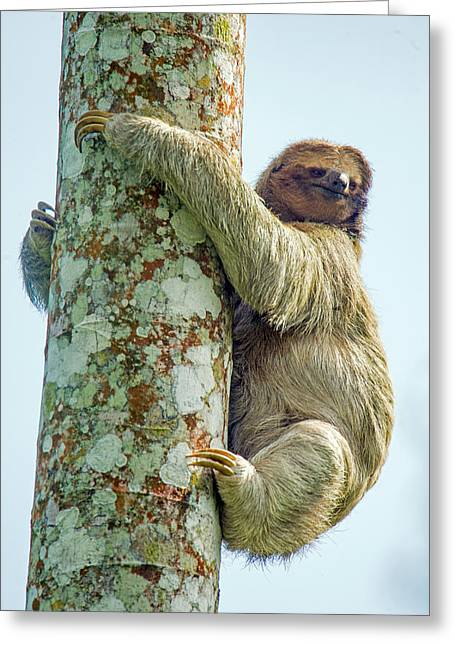 Three-toed Sloth Bradypus Tridactylus Greeting Card by Panoramic Images