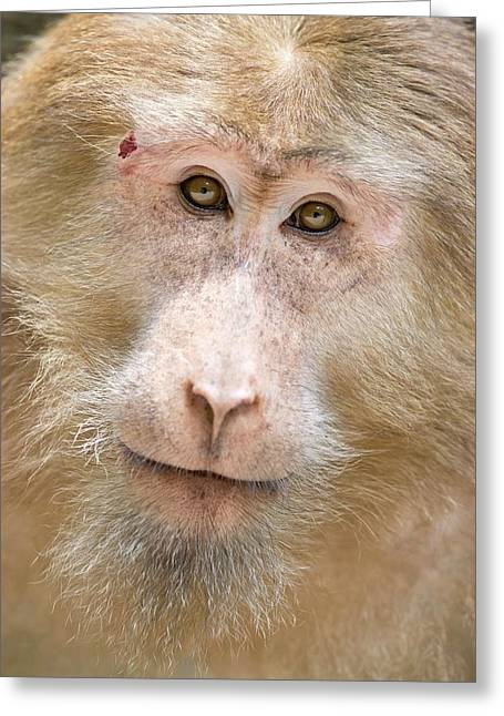 Tibetan Macaque Portrait Greeting Card by Tony Camacho