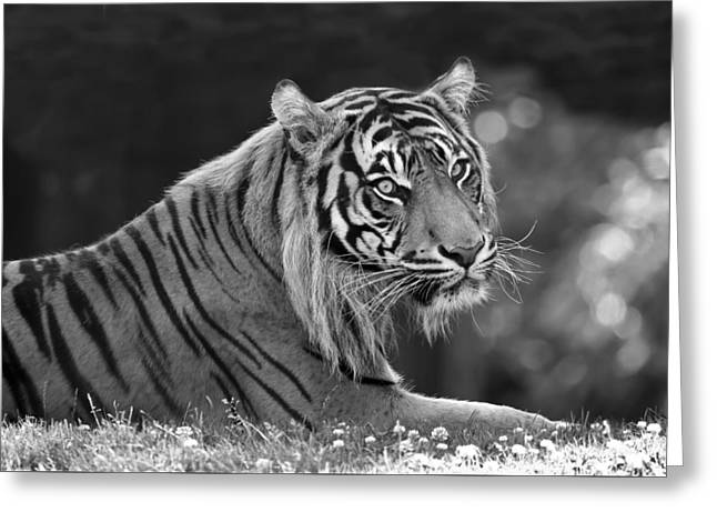 Tiger Relaxing Greeting Card by Athena Mckinzie
